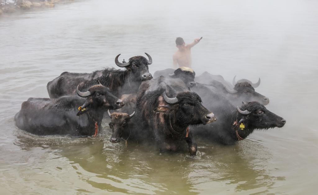 Image result for Tradicija u Turskoj: Kupanje konja i krava u toplim banjama